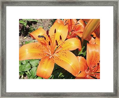 Orange Daylily Framed Print