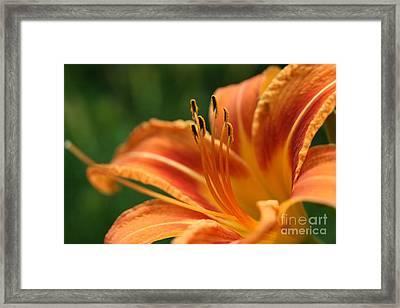 Orange Daylily  Framed Print by Neal Eslinger