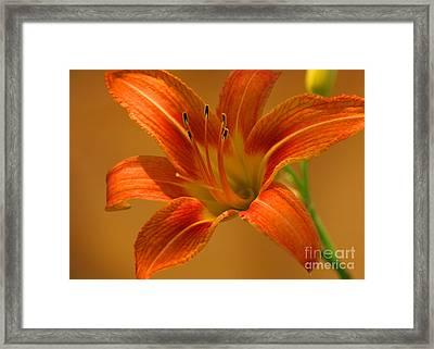 Orange Daylily Framed Print by Olivia Hardwicke