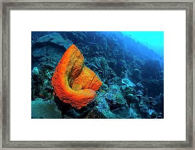 Orange Elephant Ear Sponge On A Reef Framed Print by Georgette Douwma