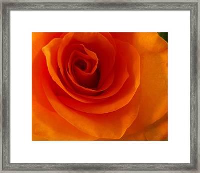 Orange Flame Fatale Garden Rose Framed Print by Julie Magers Soulen