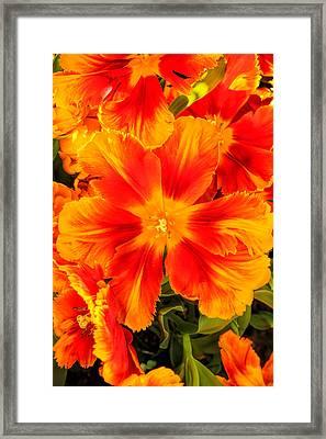 Orange Flames Framed Print by Pat Cook