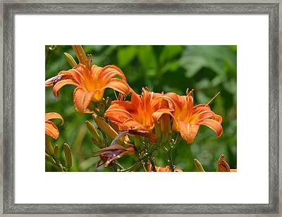 Orange Flower Trio Framed Print by Kim Stafford