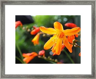 Orange Flowers Framed Print by Jason Davies