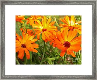 Orange Flowers Framed Print by Thomas R Fletcher