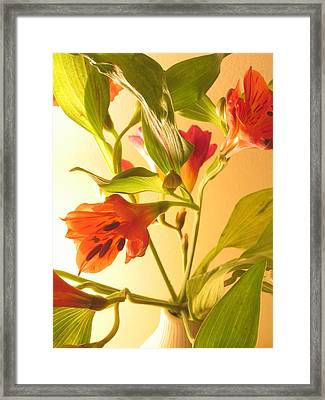 Orange Fresias Framed Print
