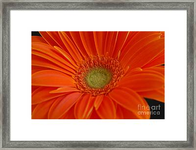 Orange Gerber Daisy Framed Print