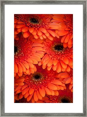 Orange Gerbera 1. Amsterdam Flower Market Framed Print