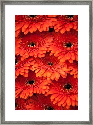 Orange Gerbera 2. Amsterdam Flower Market Framed Print