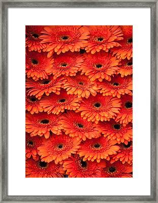 Orange Gerbera. Amsterdam Flower Market Framed Print