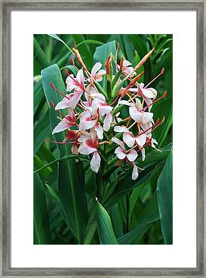 Orange Gingerlily (hedychium Coccineum) Framed Print by Dr. Nick Kurzenko