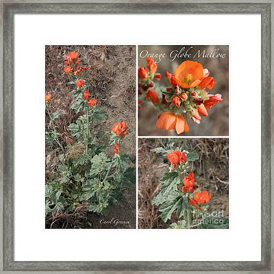 Orange Globe Mallow Collage Framed Print