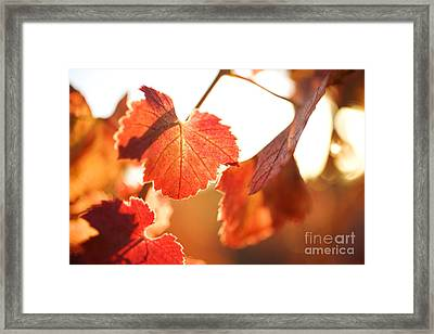 Orange Grapevine Leaves Framed Print by Charmian Vistaunet