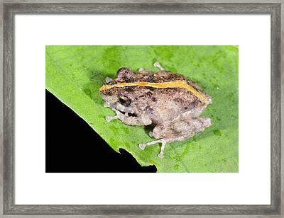 Orange-groined Rain Frog Framed Print