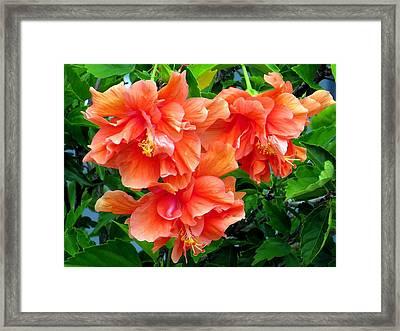 Orange Hibiscus 3 Framed Print
