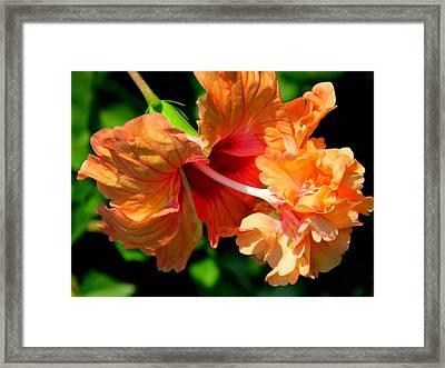 Orange Hibiscus II Framed Print