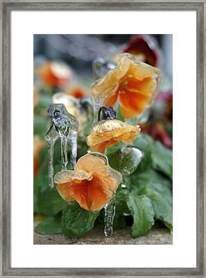 Orange Iced Pansies Framed Print