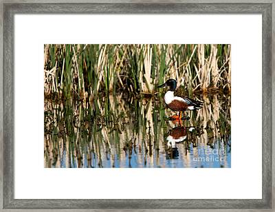 Northern Shoveler Orange Legs Framed Print