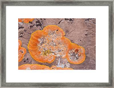 Orange Lichen Framed Print by Andrew J. Martinez