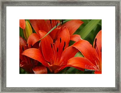Orange Lilly Framed Print