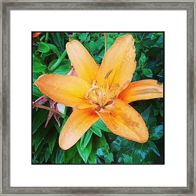 #orange #lily After The #rain Is Still Framed Print