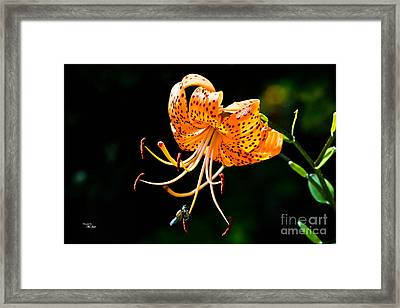 Orange Lily - Lilium Kelleyanum Framed Print