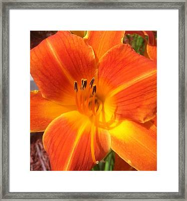Framed Print featuring the photograph Orange Lily by Saribelle Rodriguez