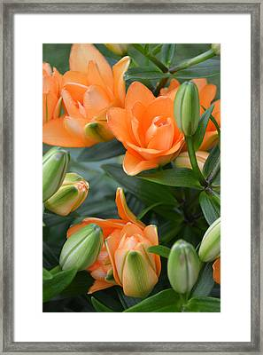 Orange Lily Framed Print by Tine Nordbred