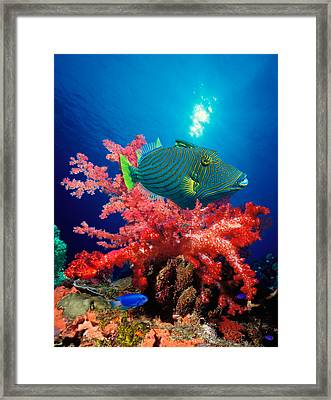Orange-lined Triggerfish Balistapus Framed Print