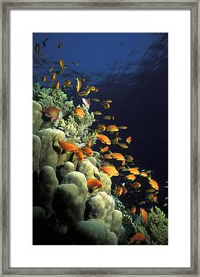 Orange Lyretail Anthies Swarming Over Framed Print by Alex Misiewicz