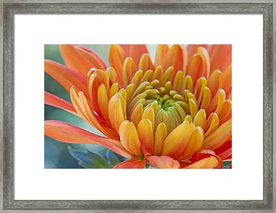Orange Mum Closeup Framed Print