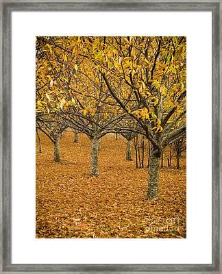 Orange Orchard Framed Print by Tim Hester
