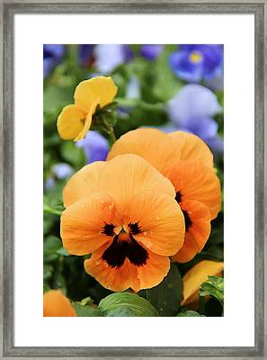Framed Print featuring the photograph Orange Pansies by Elizabeth Budd