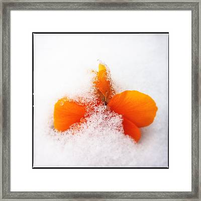 Orange Pansy Flower Covered With White Snow In Spring Framed Print