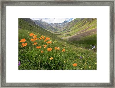 Orange Poppies On A Mountainside Framed Print by Bob Gibbons