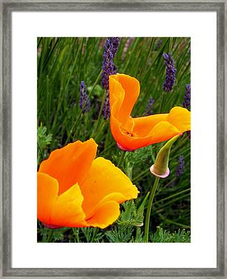 Orange Poppies With Lavender Framed Print