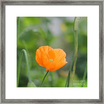 Orange Poppy #2 Framed Print by Karin Ubeleis-Jones