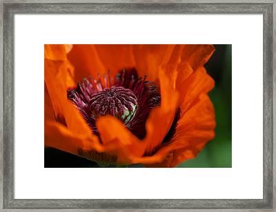 Orange Poppy Framed Print by Simone Ochrym
