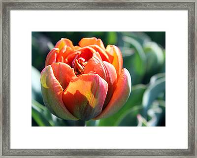 Orange Princess Tulip Framed Print