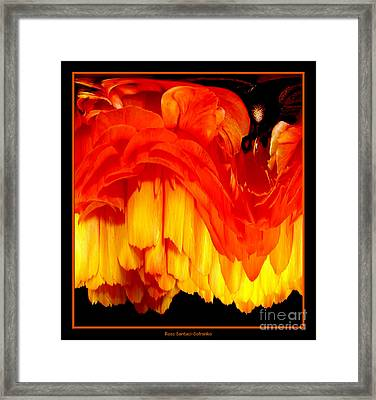 Orange Ranunculus Abstract Framed Print by Rose Santuci-Sofranko