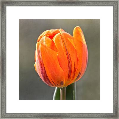 Orange Red Tulip Square Framed Print by Sandi OReilly
