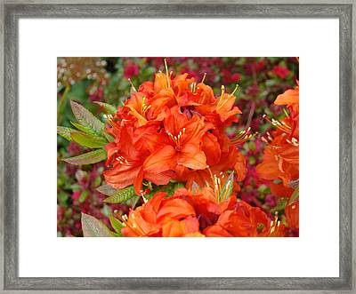 Orange Rhododendron Flowers Art Prints Framed Print by Baslee Troutman