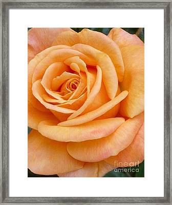 Orange Rose Blossom Special Framed Print