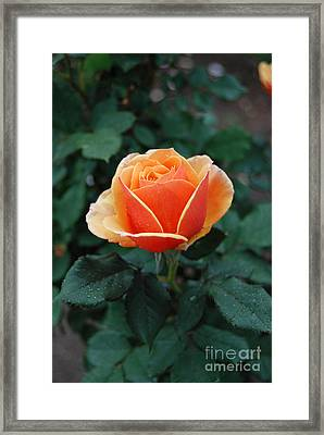 Framed Print featuring the photograph Orange Rose by Eva Kaufman