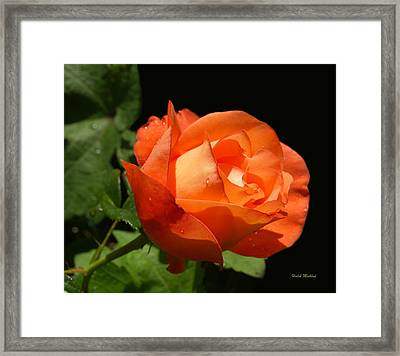 Framed Print featuring the photograph Orange Rose by Haleh Mahbod