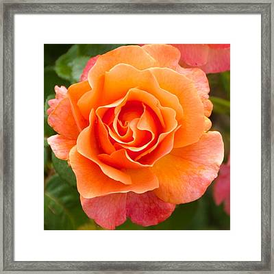 Orange Rose Lillian Framed Print by Dee Dee  Whittle