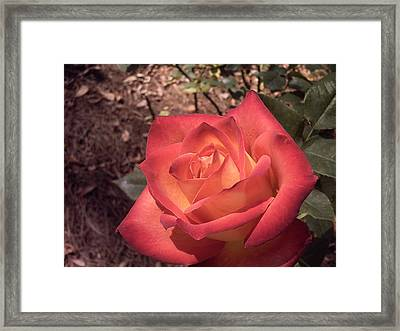 Framed Print featuring the photograph Orange Rose by Michele Kaiser
