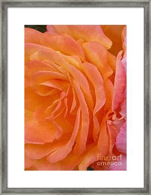 Orange Rose Swirl Framed Print