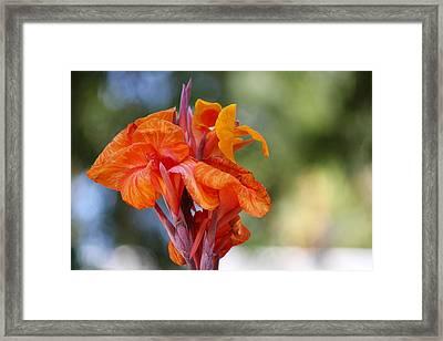 Orange Ruffled Beauty Framed Print by Leigh Meredith