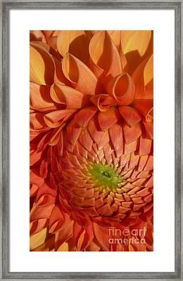 Framed Print featuring the photograph Orange Sherbet Delight Dahlia by Susan Garren